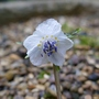 Eranthis_pinnatifida_2020