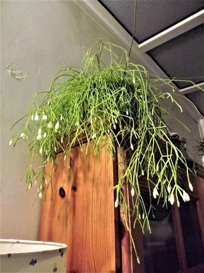 Rhipsalis campos-portoana