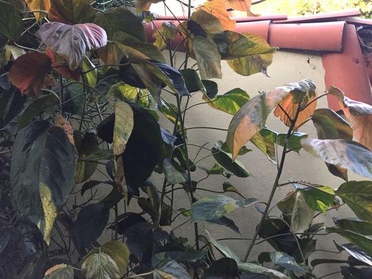 Acalypha wilkinsiana 'Jungle Dragon'  (Acalypha wilkinsiana 'Jungle Dragon')