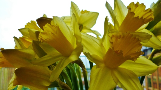 At only £1 a bunch they brighten up a dull day.