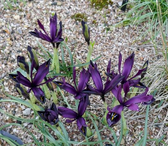 Iris 'George' - 2020 (Iris 'George')