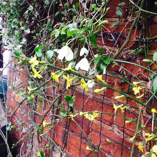 Sunshine in the gloom (Jasminum nudiflorum (Winter jasmine))