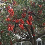 Erythrina falcata - Brazilian Coral Tree Flowers (Erythrina falcata - Brazilian Coral Tree)