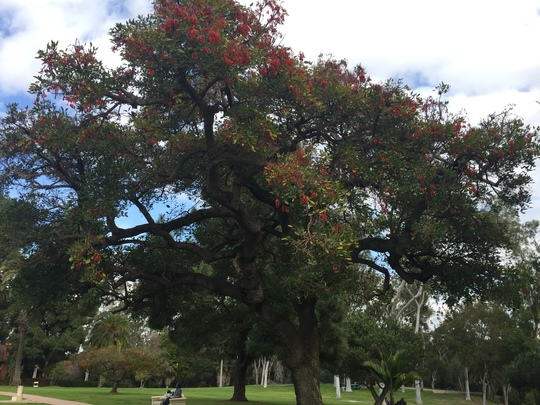 Erythrina falcata - Brazilian Coral Tree Flowering (Erythrina falcata - Brazilian Coral Tree)