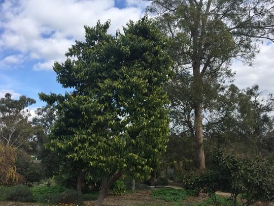 Cananga ordorata - Ylang, Ylang Tree or Channel no 5 Perfume Tree (Cananga ordorata - Ylang, Ylang Tree)