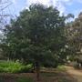 Tamarindus indica - Tamarind Tree (Tamarindus indica - Tamarind Tree)