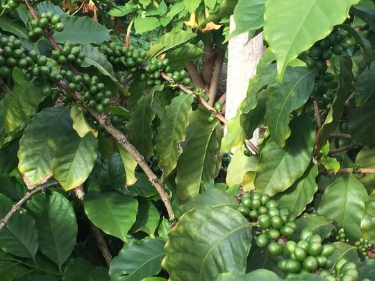 Coffea arabica - Coffee Tree  (Coffea arabica - Coffee Tree)