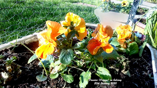 Pansies 'Orange' on balcony 20th January 2020 (Viola x wittrockiana)