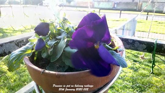 Pansies in pot on balcony railings 20th January 2020 002 (Viola x wittrockiana)