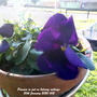 Pansies in pot on balcony railings 20th January 2020 002 (Viola x wittrockiana)