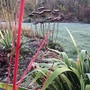 Cornus Midwinter Fire, Sedum & Iris foetidissima