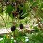 Fuchsia seeds?