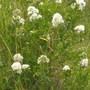 White bush close