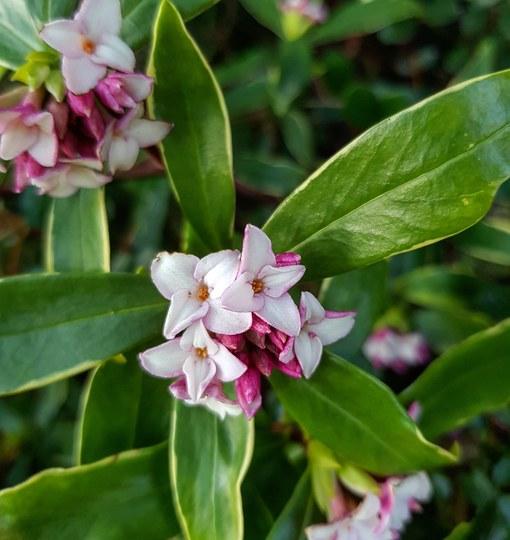 Daphne aureo marginata.. (Daphne aureomarginata..)