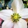 Hellebore (Helleborus x sternii (Hellebore))
