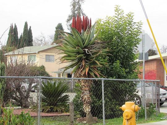 Local Aloe. (Aloe ferox)