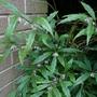 Sarcococca humilis - 2020 (Sarcococca humilis)