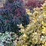 Euphorbia purpurea, Euonymus Emerald n Gold, Lamium Mac Pink Pewter