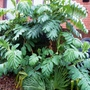 Melianthus_major_jan.2020