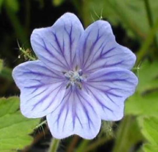 Geranium bohemicum (Geranium bohemicum)