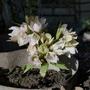 Helleborus thibetanus - 2020 (Helleborus thibetanus)