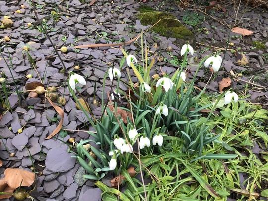 The first Snowdrops (Galanthus nivalis (Common snowdrop) Flore Pleno)