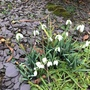 The first Snowdrops (Galanthus nivalis (Common snowdrop) Flore Pleno)