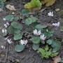 Cyclamen_coum_album_2020