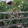 Abeliophyllum_distichum_2020