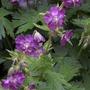 Geranium phaeum 'Lilly Lovell' (Geranium phaeum 'Lilly Lovell')