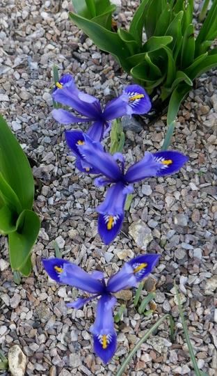 Iris 'Harmony' - 2020 (Iris)