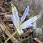 Iris_reticulata_painted_lady_