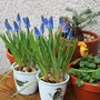 From the Florist...Grape Hyacinth in pots