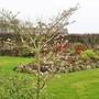 Prunus subhirtella autumnalis 'Rosea' (Prunus x subhirtella Autumnalis Rosea)