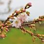 Close up of Cherry Blossom (Prunus x subhirtella Autumnalis Rosea)