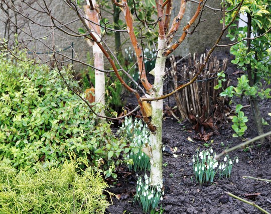 Snowdrops under the Betula jaquemontii 'Silver Shadow' Trees