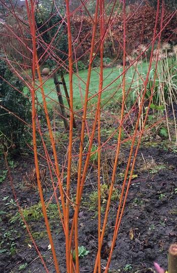 Salix Britzensis