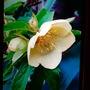 Golden Hellebore (Helleborus purpurascens (Hellebore))