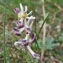 Corydalis ledebouriana - 2020 (Corydalis ledebouriana)