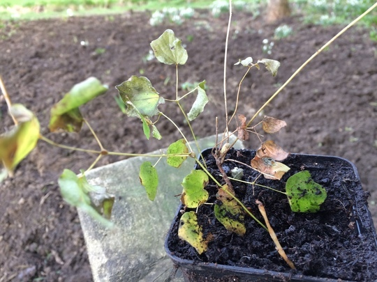 Mystery Solved - Vancouveria hexandra (American barrenwort)