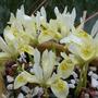 Iris histeroides Katherine's Gold (Iris histeroides 'Katherine's gold')