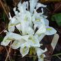 Iris reticulata 'Natasha' (Iris reticulata 'Natasha')