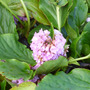Elephants ears in flower (Bergenia purpurascens (Elephant's ears))