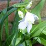 a welcome snowflake (Leucojum vernum (Spring snowflake))