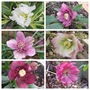 Double Hellebores from Seed (Helleborus)
