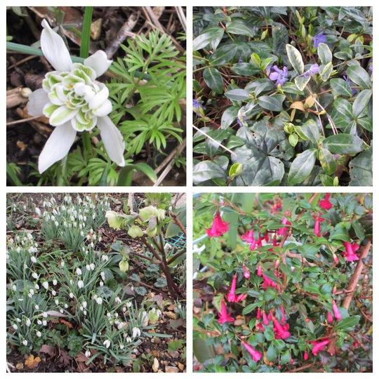 February Flowers (Galanthus nivalis (Common snowdrop))