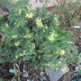 Coronilla valentina glauca Citrina (Coronilla valentina glauca (Coronille))