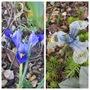 Reticulata Iris (Iris reticulata (Iris))