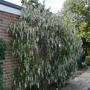 Garrya_elliptica_james_roof_2020