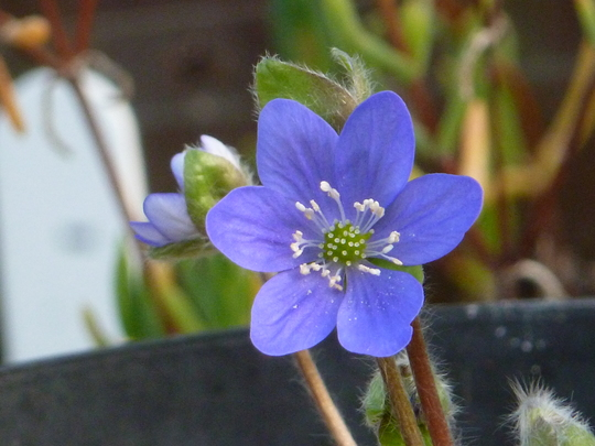 Hepatica noblis Blue